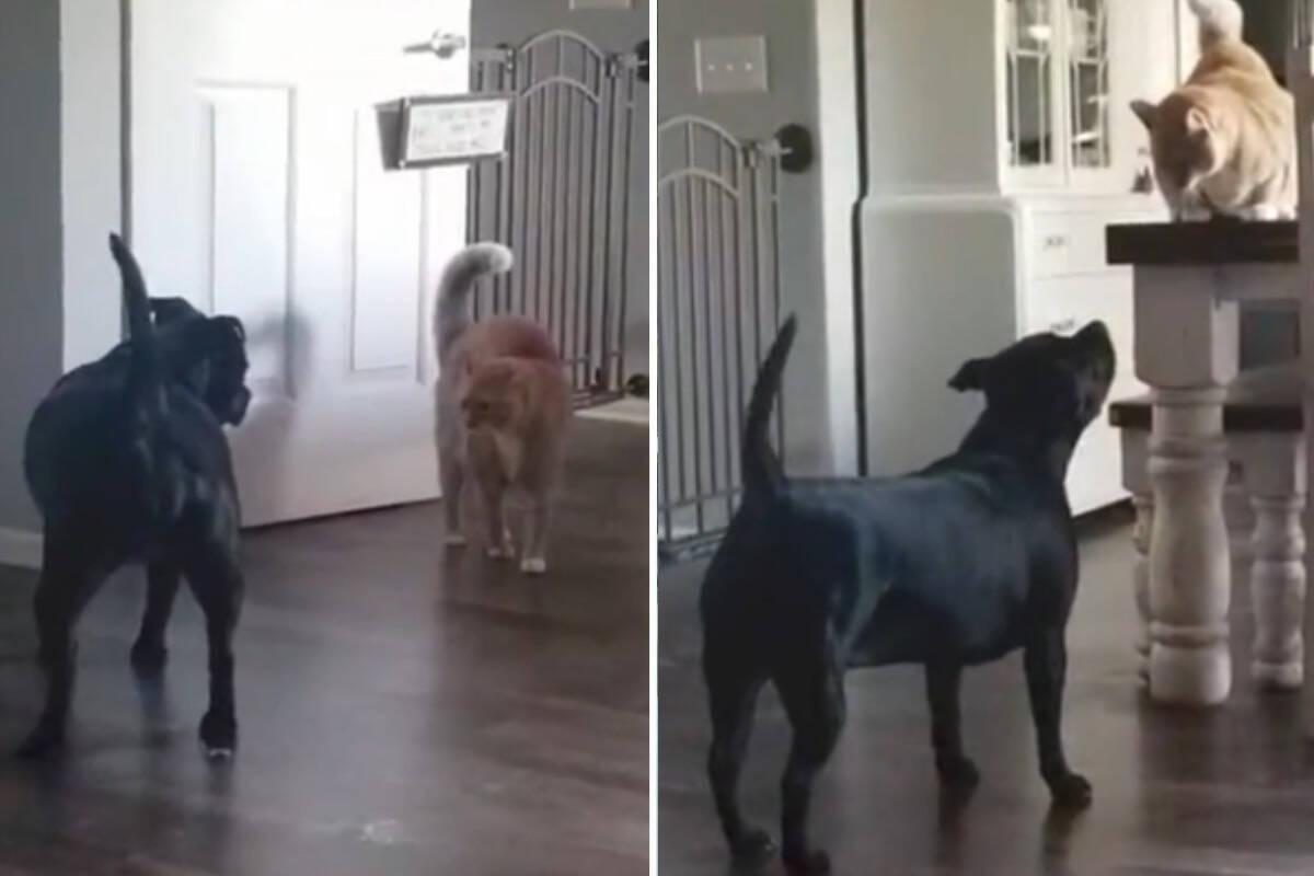 Vídeo: cão adotado faz de tudo para conquistar a simpatia de gatos enfezados