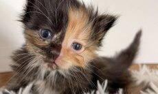 Conheça Apricot, o gato de duas faces que procura uma casa para chamar de sua