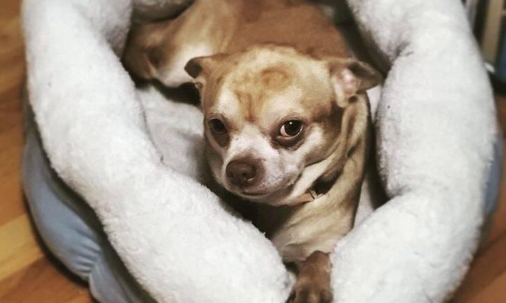 Descrito como bebê Chucky em corpo de cão, chihuahua consegue ser adotado