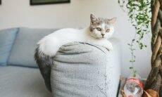 Confira 20 raças de gatos que continuam pequenos mesmo depois de adultos