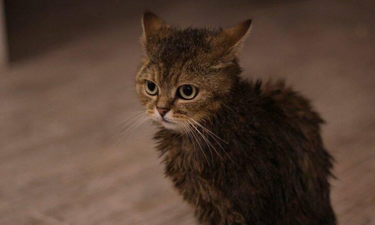 Como preparar o seu gato para o ritual de banho e tosa