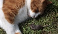 Ratos produzem substância química para confundir gatos