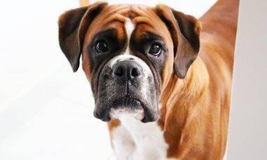 Tudo o que você precisa saber antes de levar um cão da raça boxer pra casa