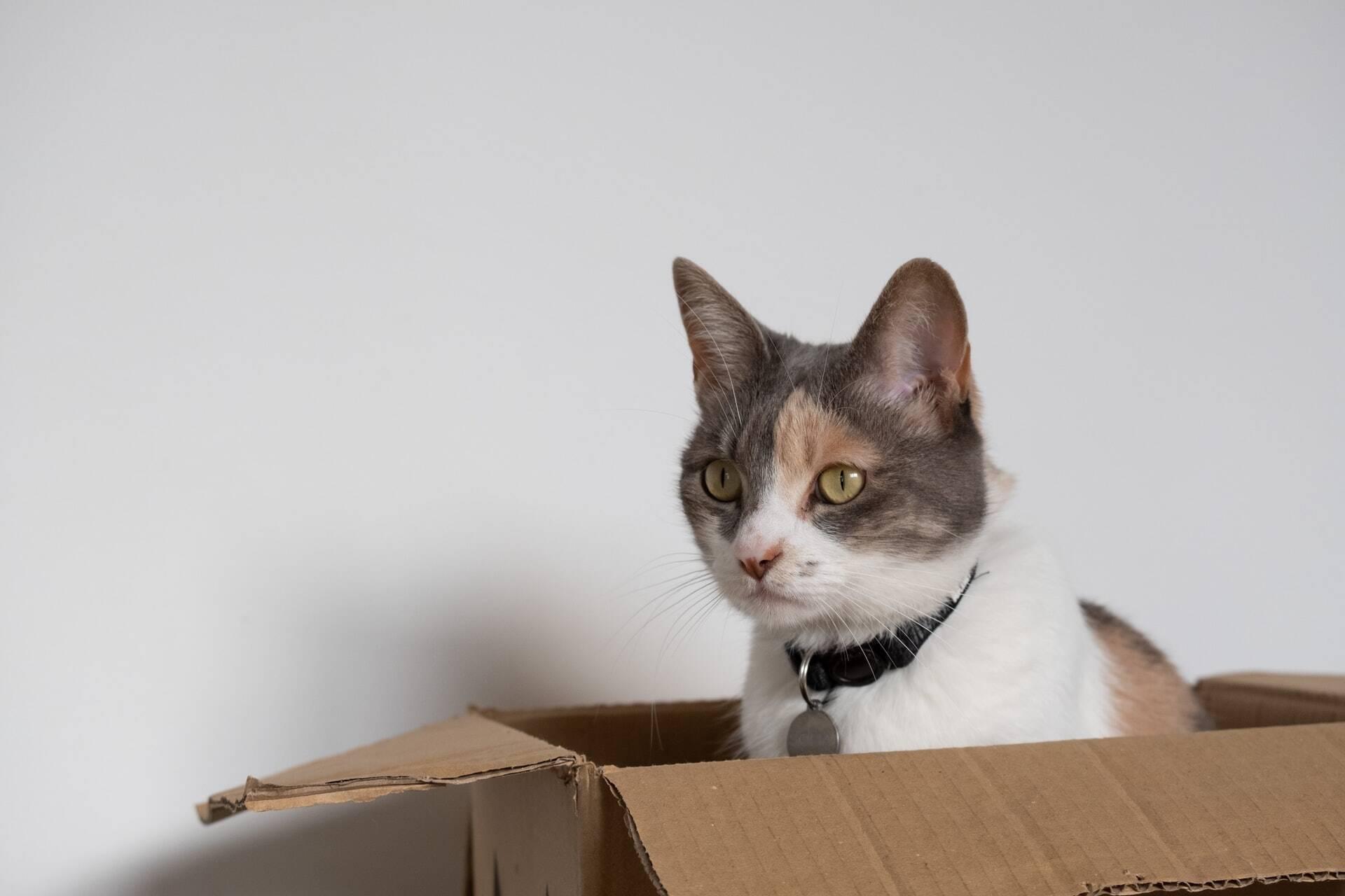 Estudo: Gatos adoram entrar em qualquer caixa, até nas imaginárias