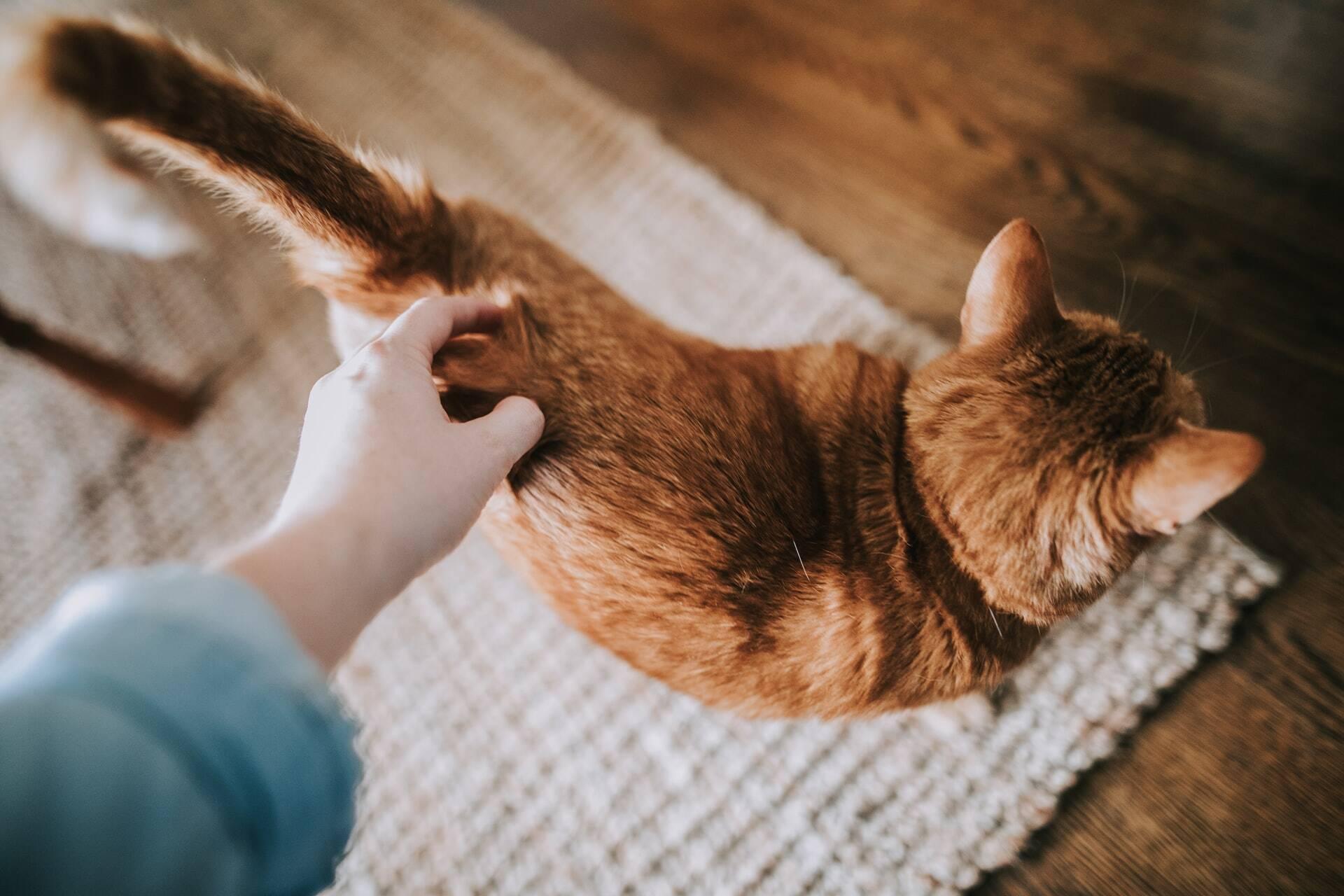 Conheça a melhor maneira de acariciar um gato, de acordo com a ciência