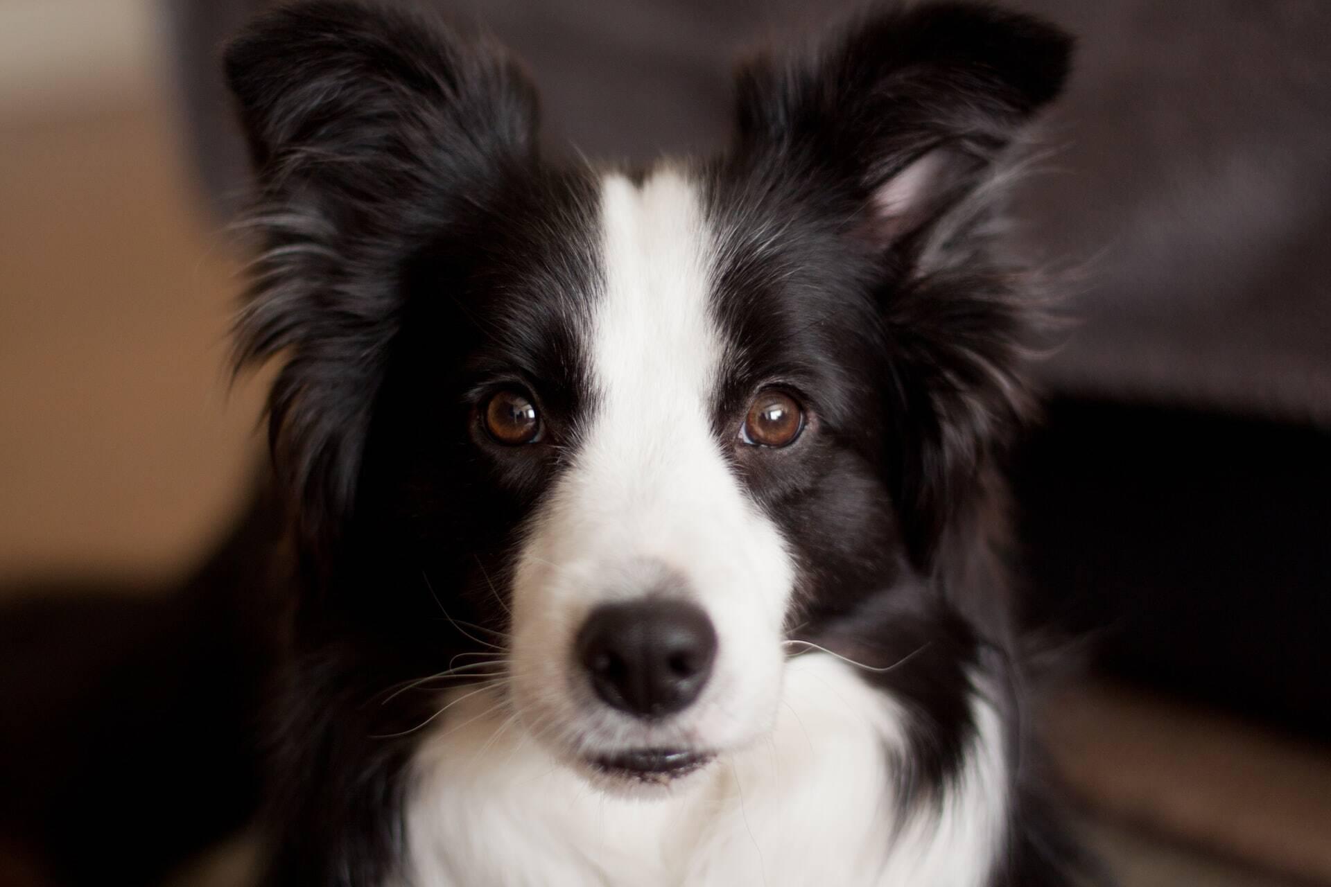 Cães podem entender 165 palavras em média, indica estudo