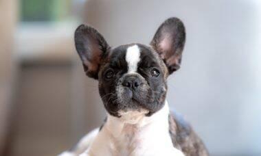 Confira 25 raças de cães para quem não tem muito tempo ou espaço para passeios e exercícios