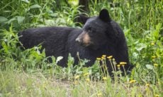 Mulher sai para passear com os cães e é morta por um urso