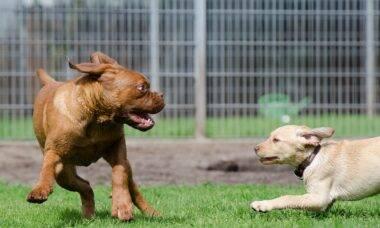 Por que os cachorros pequenos são mais agressivos que os grandalhões?