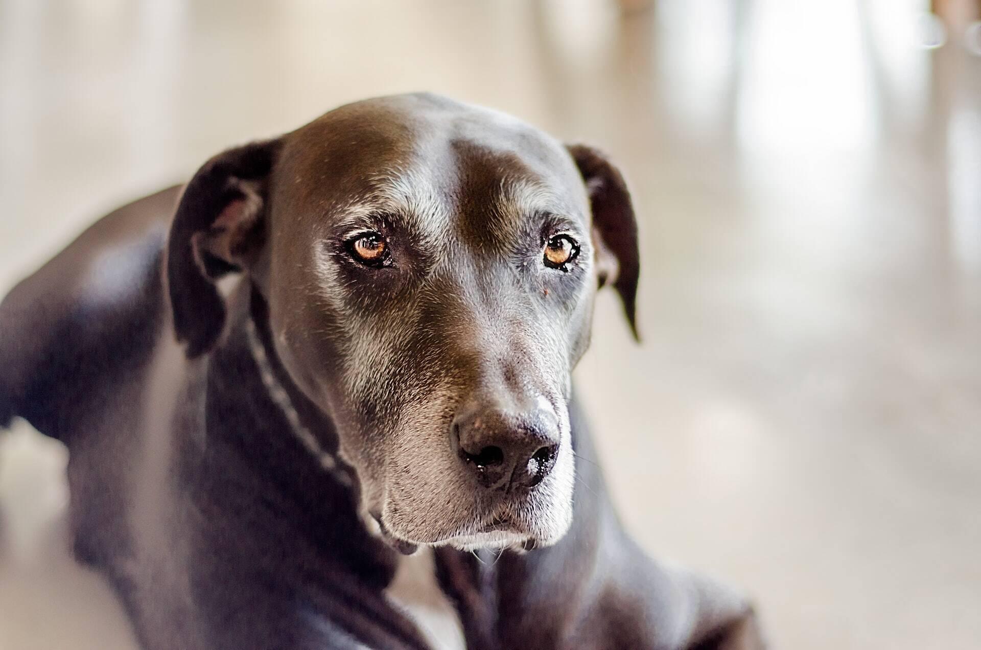 5 coisas que você deve prestar muita atenção em um cão idoso
