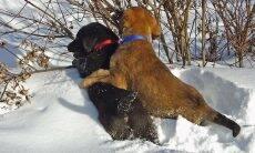 Saiba por que cadelas 'montam' outros cães; não tem nada a ver com sexo