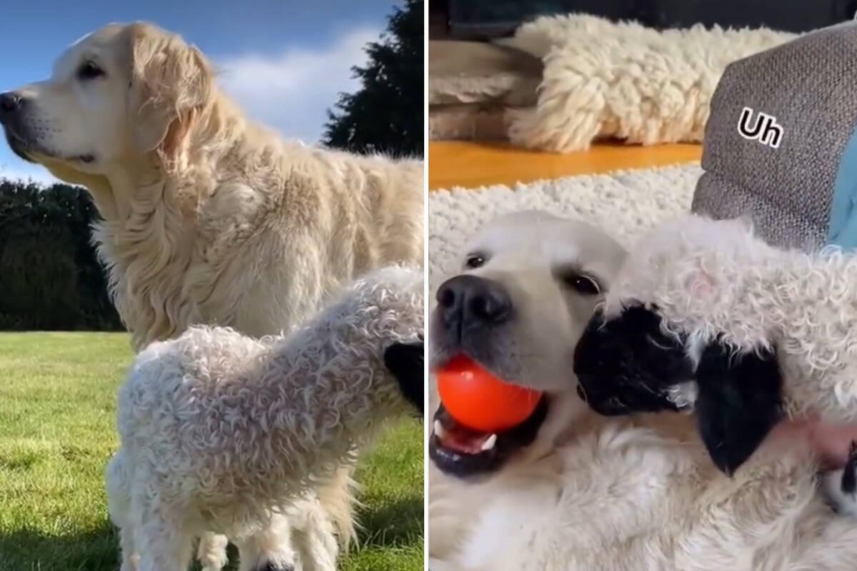 Vídeo: cadela golden retriever adota cordeirinho abandonado pela mãe