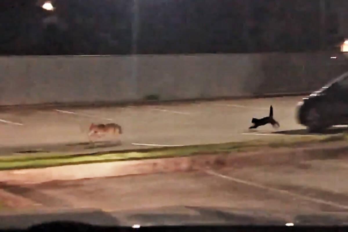 Vídeo: gato doméstico coloca coiote pra correr no Canadá