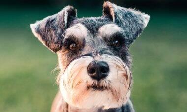 Cães: as 25 raças pequenas mais obedientes