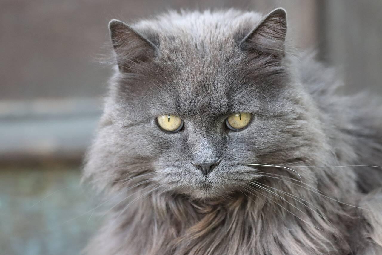 Quais são as chances de você virar comida para o seu gato? A ciência estuda