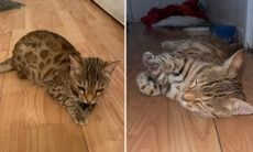 Conheça o gato mais caro de Londres, avaliado em mais de R$ 27 mil