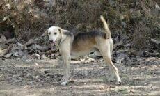 Corpos mal cremados de vítimas de Covid são devorados por cães de rua na Índia