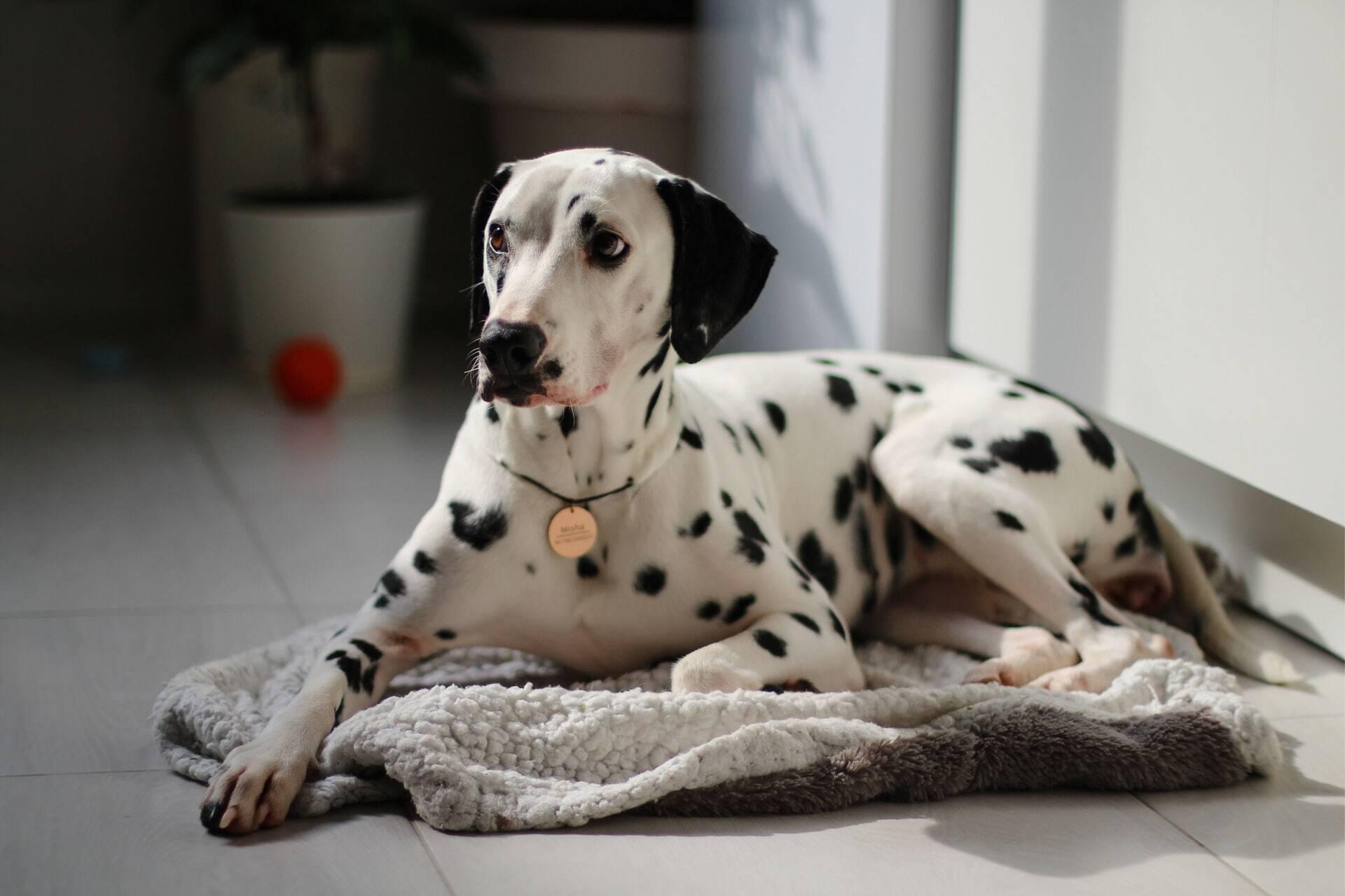 Confira as 15 raças de cães mais leais a seus donos