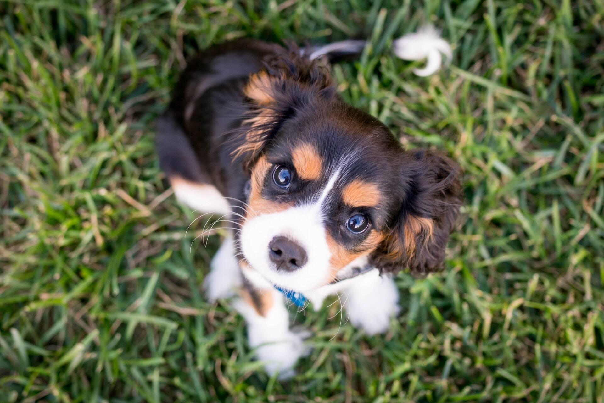 Filhotes de cão já nascem com a habilidade genética de nos entender, diz estudo