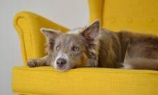 Seu cão 'rouba' o lugar no sofá tão logo você se levanta? Saiba por que ele faz isso