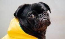 Por que cães pequenos são tão enfezados? A culpa pode ser dos donos, diz a ciência