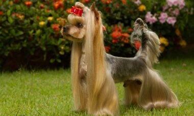 Conheça a tosa asiática e veja como ela pode mudar o visual do seu cãozinho