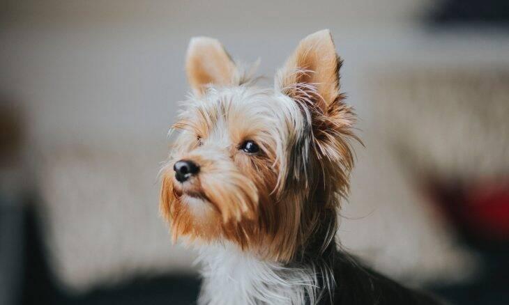 As 12 raças de cães que as pessoas mais compram e logo se desfazem