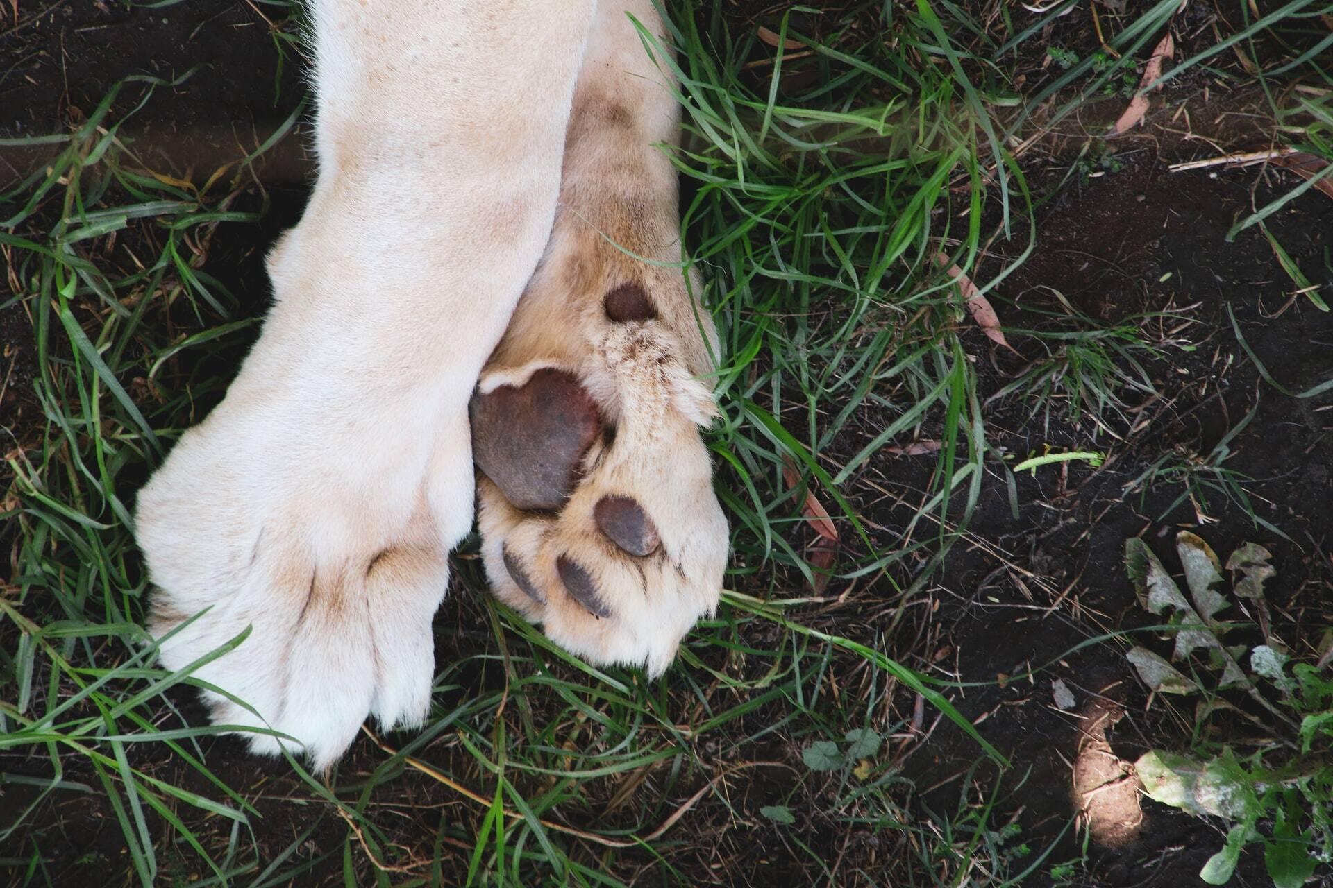 Por que meu cão lambe as patas? Devo me preocupar com isso?
