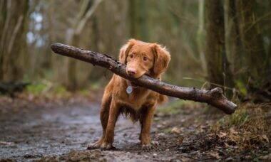 Seu cão gosta de trazer tocos para casa depois do passeio? Entenda o porquê