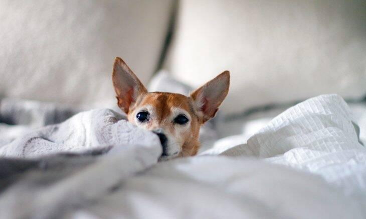 Aprenda a limpar as orelhas do seu cão de uma vez por todas