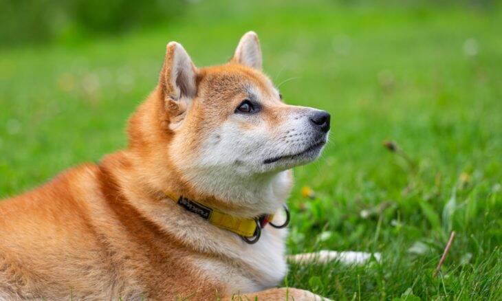 Dono da Tesla provoca explosão na procura de cães da raça shiba inu; entenda