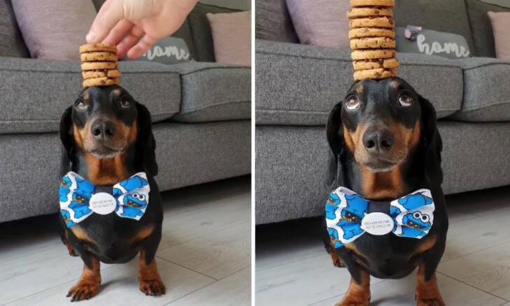 Vídeo: cão equilibra pilha de biscoitos na cabeça sem deixar cair