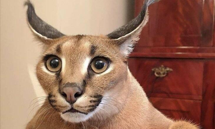 Conheça Big Floppa, o gato que virou a grande estrela dos memes na internet