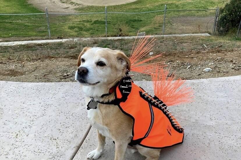 Cães estão usando coletes com pontas de metal para não virar almoço de falcão