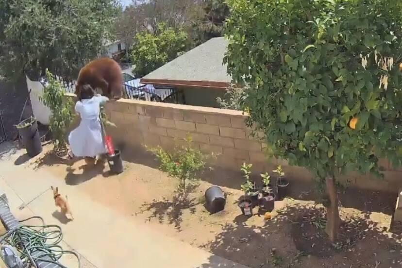 Vídeo: mulher enfrenta urso para salvar seus cães