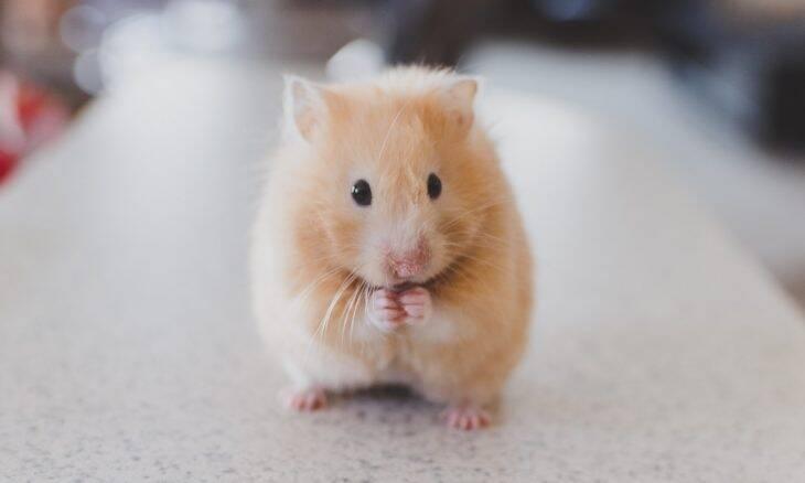 13 questões fundamentais para quem pensa em adotar um hamster