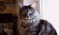 11 coisas que você precisa saber sobre gatos da raça maine coon