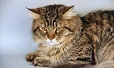 Siberiano: tudo o que você precisa saber sobre a mais 'canina' raça de gatos