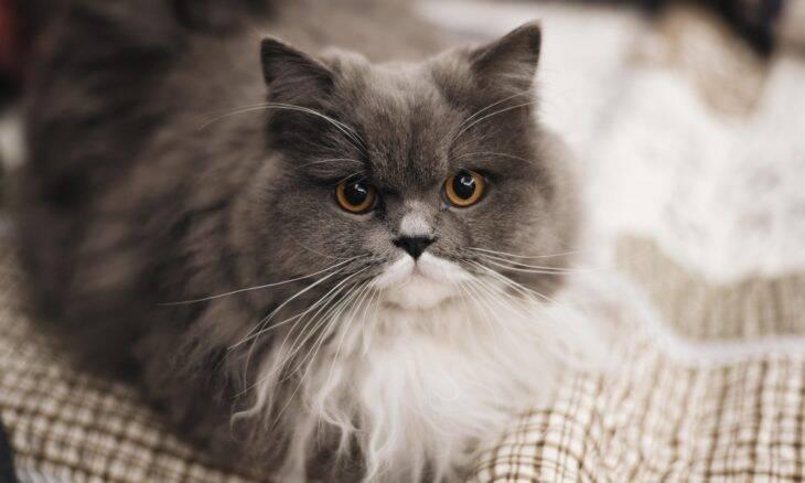 Vitiligo em gatos: Saiba como diagnosticar e o que fazer para proteger seu bichano