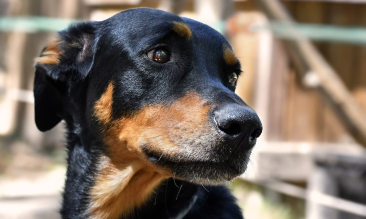 Os cães são capazes de chorar? Veja o que dizem os veterinários