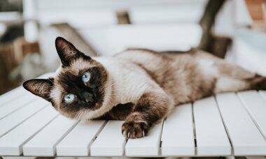 As 10 melhores raças de gatos para quem sofre de alergias