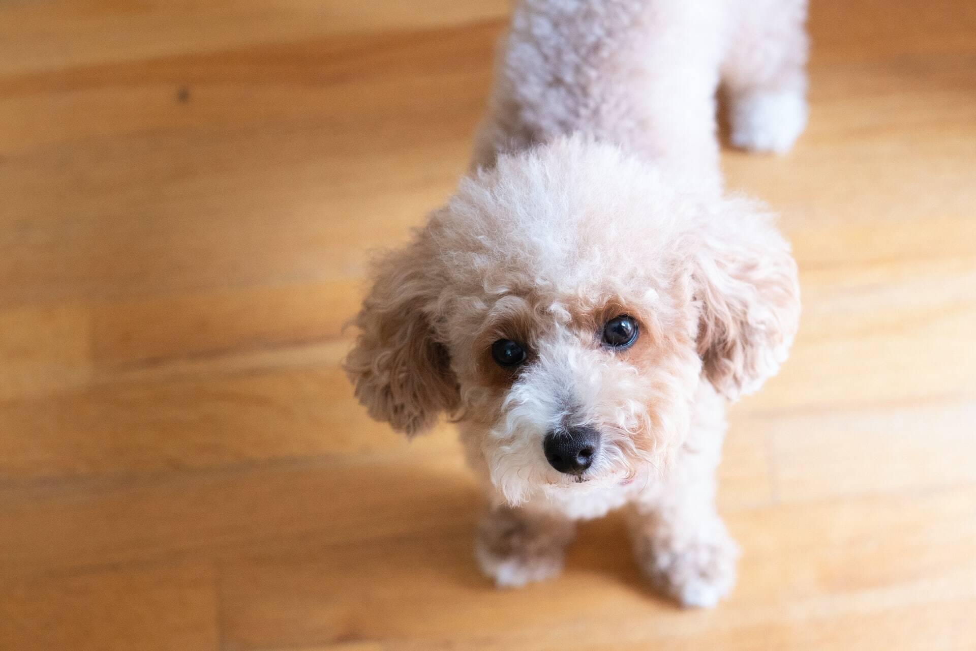 10 raças de cães que sofrem mais com a ansiedade da separação