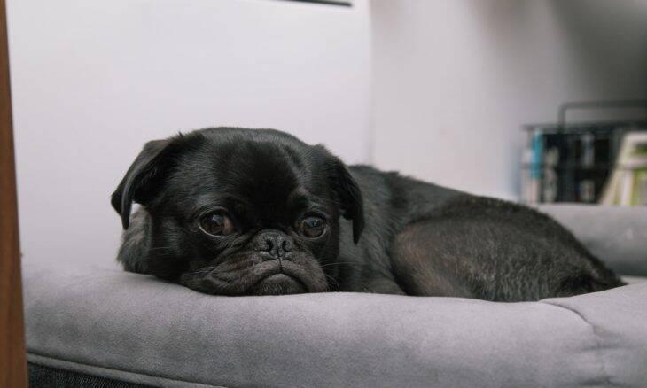 Cães e gatos podem pegar Covid de seus donos, indica estudo
