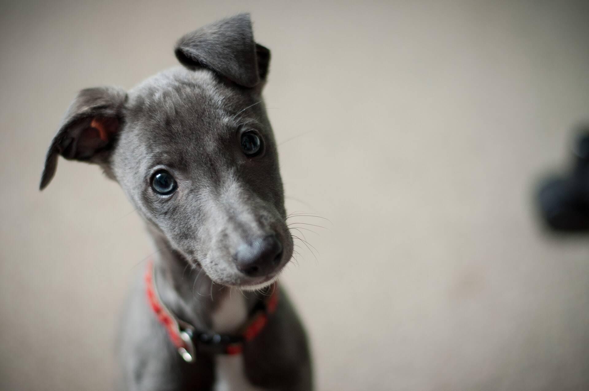 E-book e curso trazem tudo o que você precisa saber para cuidar de um filhote de cão