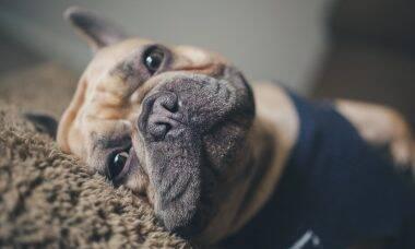 14 raças de cães ideais para donos preguiçosos