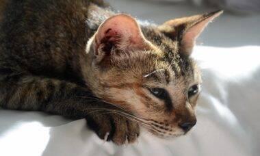 Gatos podem transmitir Covid-19, indica estudo