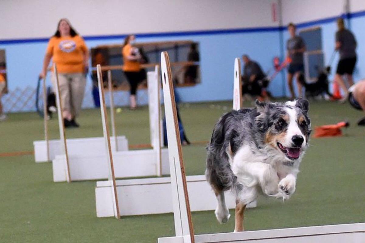 Conheça o flyball, esporte que está 'enlouquecendo' cães e seus humanos
