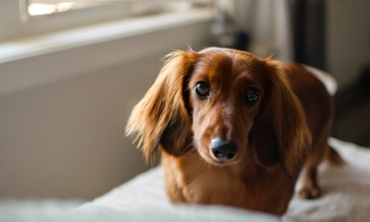 Quais são as 10 raças de cães mais elegantes? Pesquisa responde