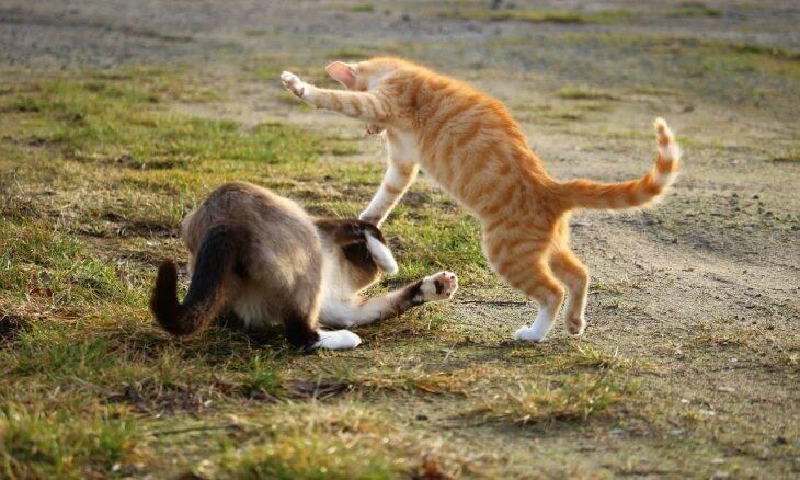 Seus gatos brigam muito? Saiba o que fazer para dar um fim nisso