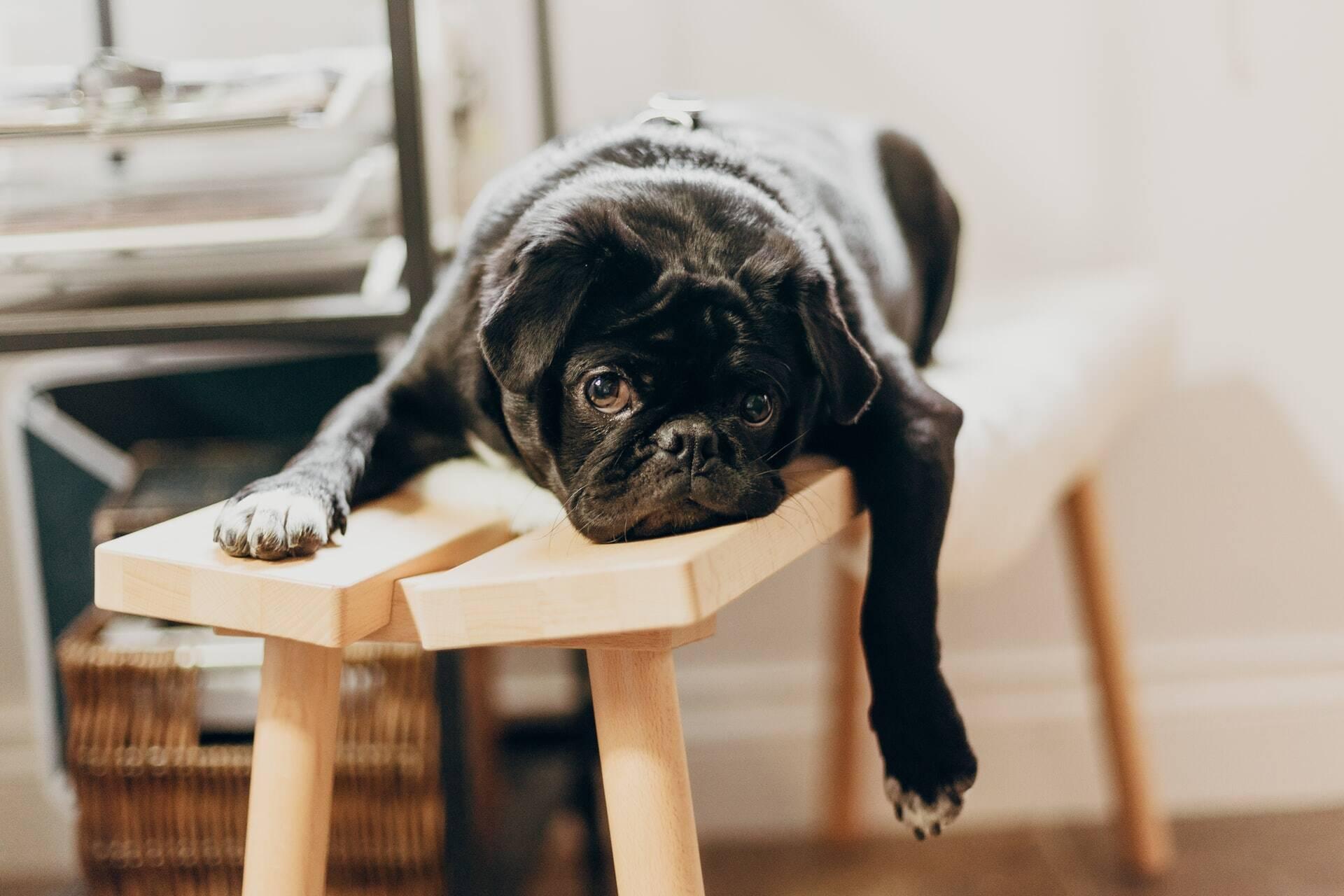 Seu cão parece entediado? Veterinário dá dicas para animar o bichinho